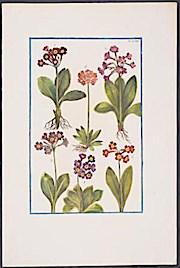 Metamorphosis insectorum surinamensium oder Verwandlung der surinamischen Insekten. ( Amsterdam 1705),